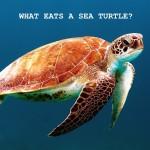 What Eats A Sea Turtle?