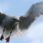 Sea Gulls – Nature's Boldest Bird?