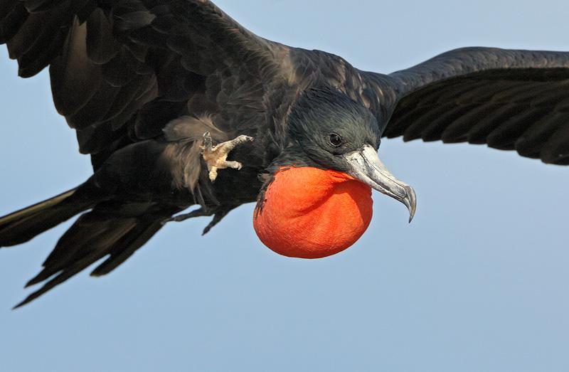 flying frigatebird