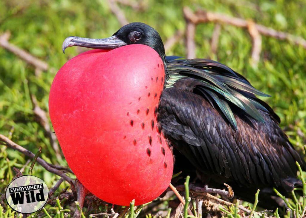 Great-Frigatebird-vs-Magnificent-Frigatebird