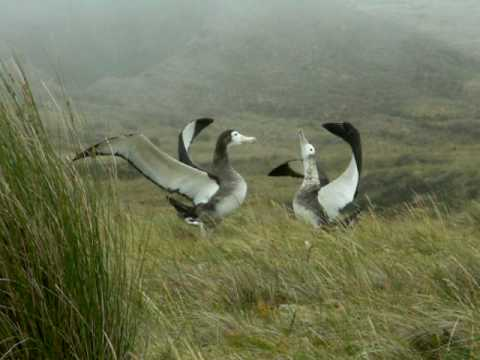 amsterdam albatross male and female
