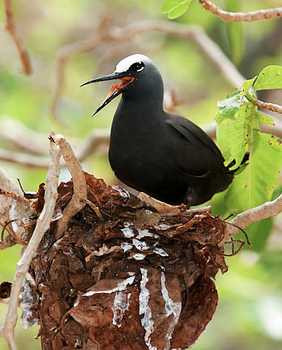 black noddy nesting