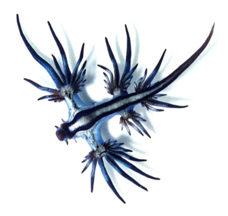 blue sea dragon