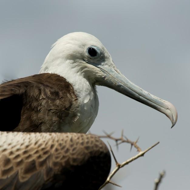 close-up-female-great-frigatebird-fregata-minor-north-seymour-island-galapagos-islands-ecuador_19485-40023