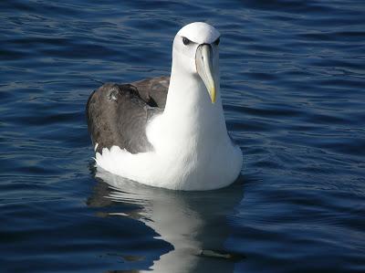 white capped albatross