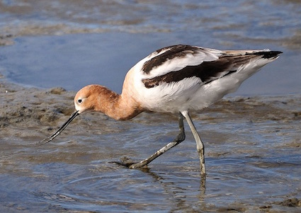American Avocet at Palo Alto Baylands Nature Preserve, California, USA