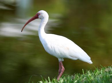White_Ibis_in_Florida