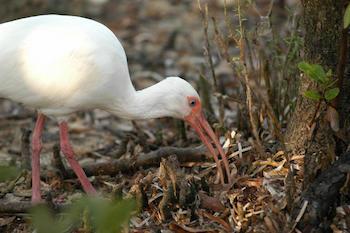 american-white-ibis-eudocimus-albus-2