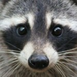 How To Avoid Raccoon Eyes From Tanning