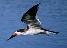 skimmer bird beach
