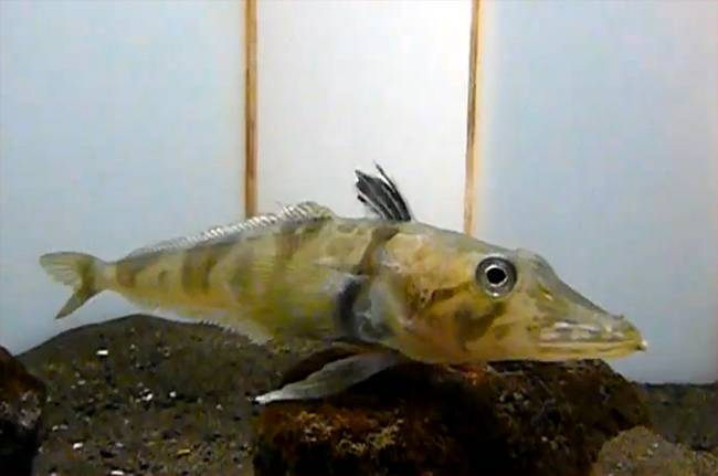 Ocellated icefish