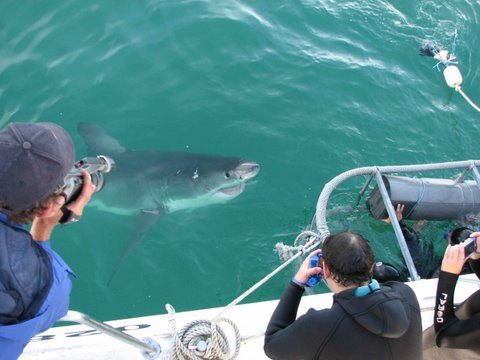 White Shark Cage Gansbaai, South Africa