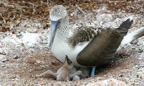 blue footed boobie and chick