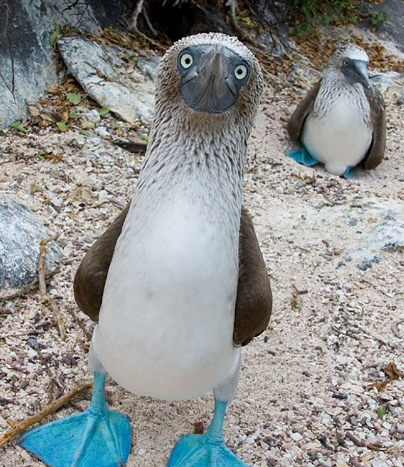 blue footed booby-bird