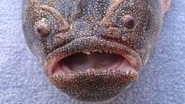coffinfish (CHAUNAX ENDEAVOURI)