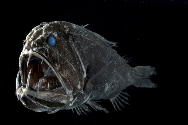common fangtooth fish