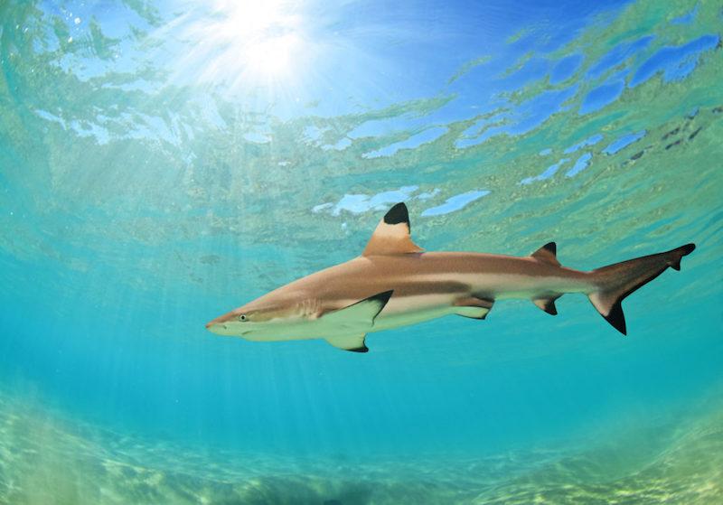 Hawaiian Black Tip Reef Shark