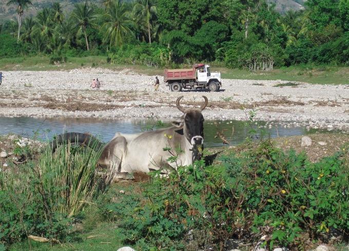 gelee beach haiti cow