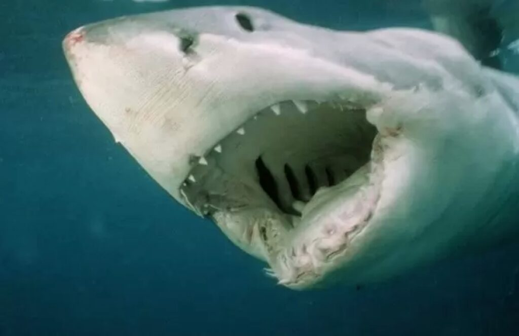 great white shark up close