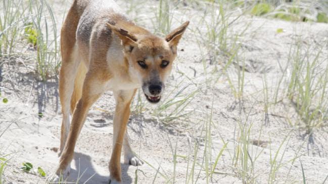 wild dingo attack fraser island