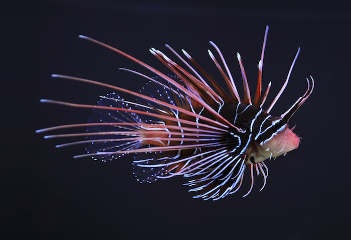 Clearfin_lionfish_(Pterois_radiata)