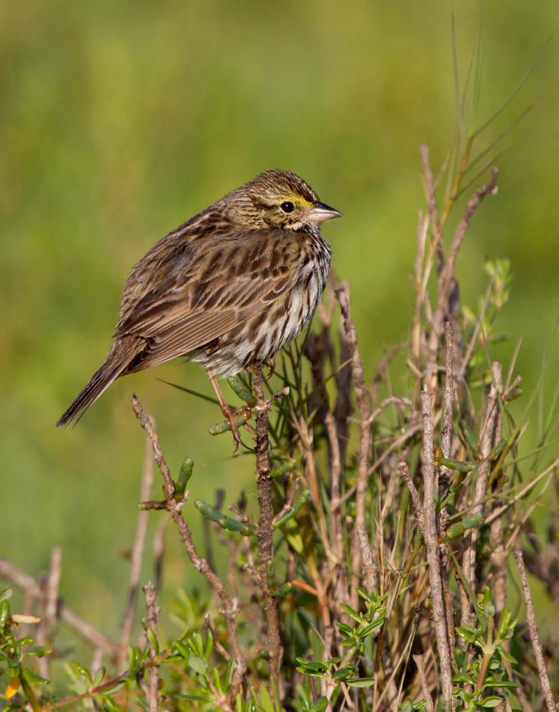 belding savannah sparrow