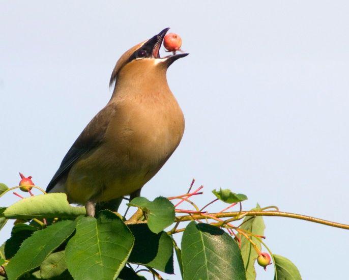 birds eating fruit
