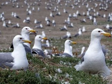 sea gull invasion do not feed