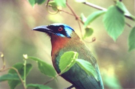tobago bird watching mot mot