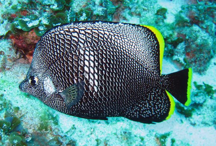 wroughtironbutterflyfish