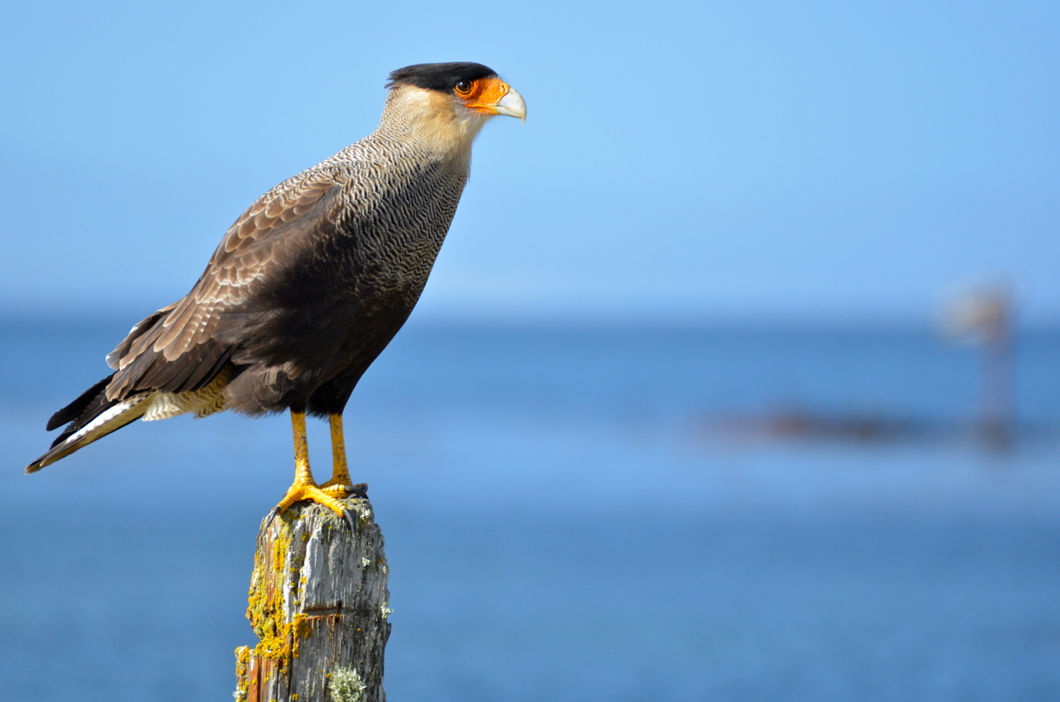 great crested caracara