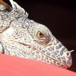 Mexican Spiny-Tailed Green Iguana Facts And Info
