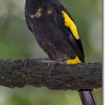 Yellow-Rumped Cacique Bird Facts And Info