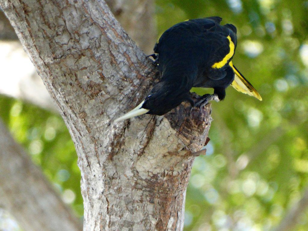 Cacique Bird Bucerias Mexico