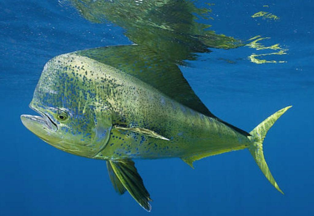 Fishing in banderas bay mexico for Mahi mahi fish
