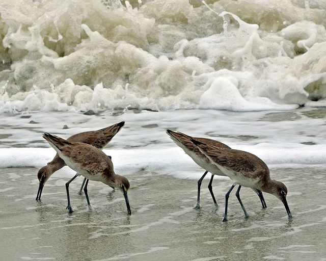 shore birds eating sand fleasw