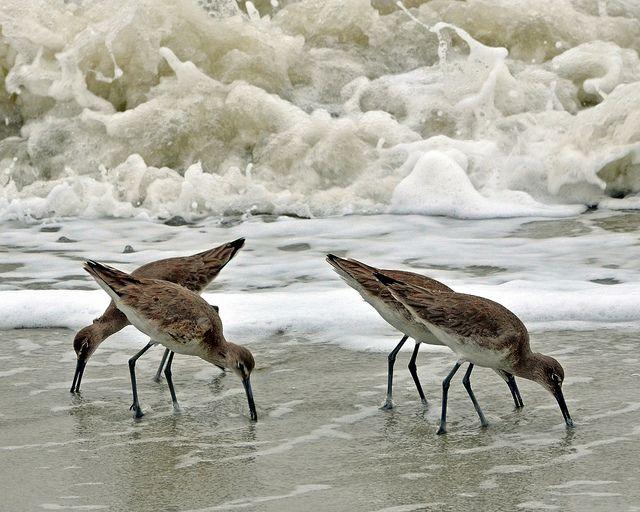 shore birds eating sand fleasw
