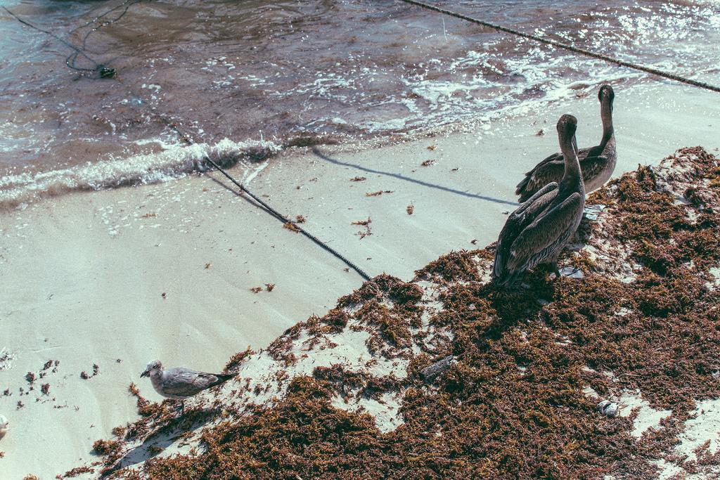 shore birds eating seaweed