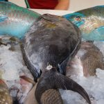 Cooking Up Yellow Fin Surgeonfish in La Cruz de Huanacaxtle, Mexico