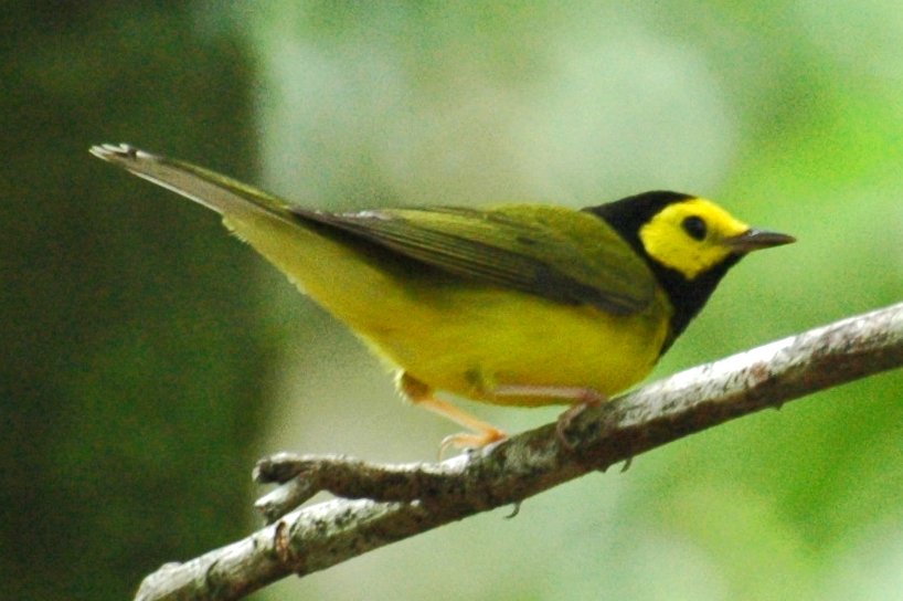 Wilsonia_citrina_(Belize)