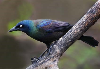 common_grackle