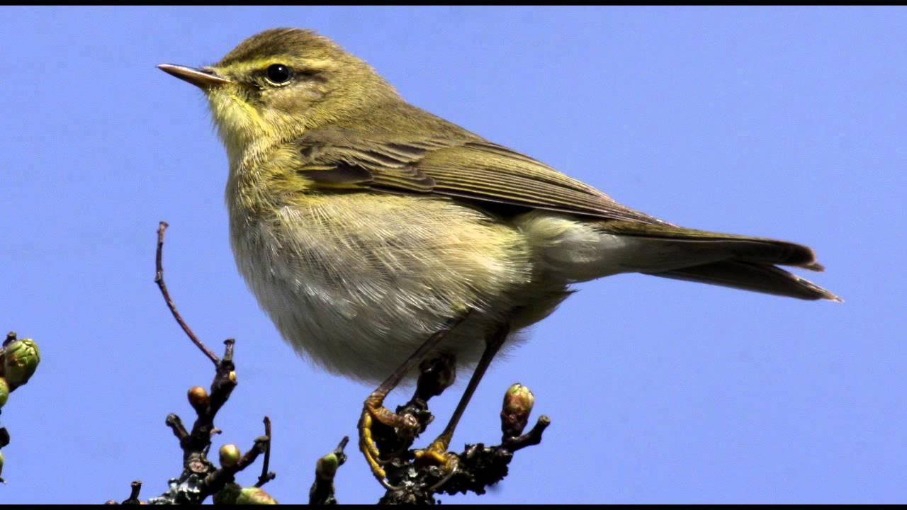 willow warbler bird