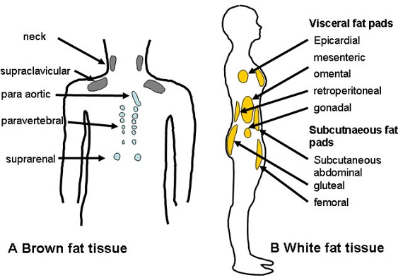 diagram of fat body expert wiring diagram u2022 rh heathersmith co diagram of fat in body diagram of fatty liver