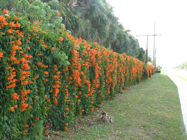 cape honeysuckle vine hedge