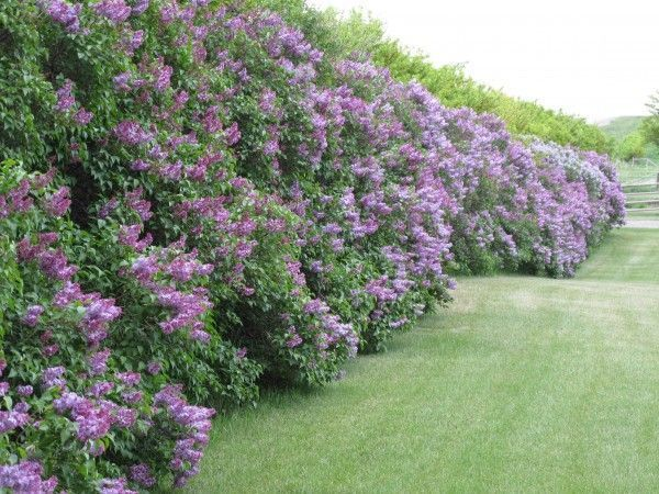 large backyard hedge