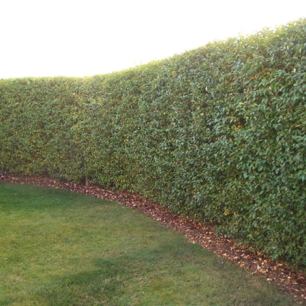 privet-hedge-plants-p22-2195_image