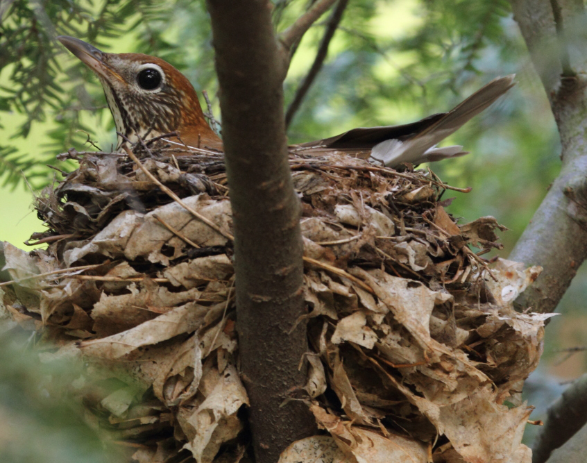 woodthrush_nesting