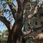 Three Tropical Trees Of Mexico – Parota, Kapok, and Strangler Fig
