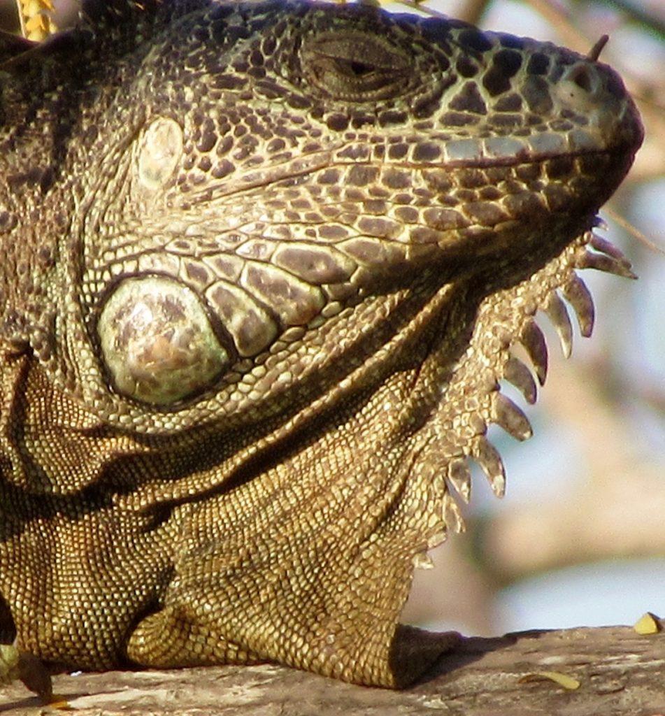 green iguana on parota branch