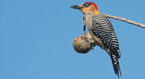 den-cheeked woodpecker